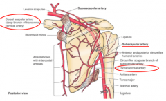 LATISSIMUS DORSI:      What is the blood supply?      What is the derivation of that artery?