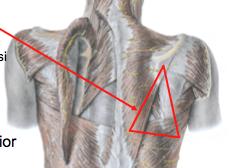 Floor - rhomboid major      Medial border of scapula      Superior border of latissimus dorsi      lateral border of trapezius