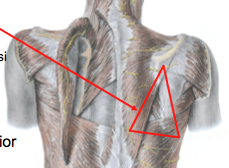 What are the borders of the triangle of auscultation?