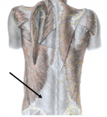 What does the thoracolumbar fascia cover?      What does the thoracolumbar fascia provide attachment for?