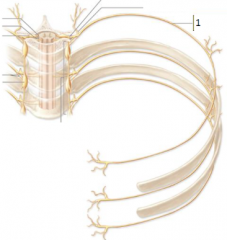 segmental intercostal nerves