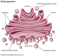 Golgi apparatus   It is located close to the endoplasmic reticulum and goes to the cell's membrane to be exported.