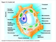 Vacuole   Is located between the nucleus and cell membrane. In plants it is very large and filled with fluid but in animals there are several and they are smaller.