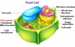 Chloroplast   Is inbetween cell membrane and the nucleus. Is ONLY in plants.