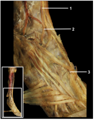 1.Dorsalis pedis artery 2.Lateral tarsal artery 3.Arcuate artery (Note: The lateral tarsal and arcuate arteries come together to form a loop from which the digital branches emerge.)