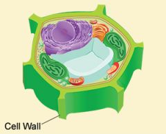 Cell Wall   It is located on the outside of the cell. Is ONLY in plants.