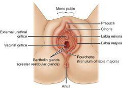Mons Pubis, Labia Majora and Minora, Clitoris, Urethra and Vaginal Orifices, Greater Vestibular Glands