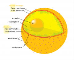 Nucleoplasm   Is inside the nuclear membrane.