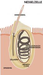 *Cnidaria = Nesseltiere   -> Nesselzellen (Cnidocyten + Nematocyten): in äußerer Epidermis eingebettet mit Nesselkapseln (Cniden, Nematocysten)   -> Beutefang oder Verteidigung (bei Reizung wird Nesselschlauch ausgeschleudert, der häufig ...