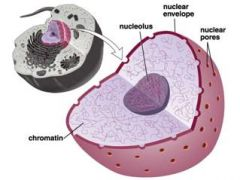 Nucleolus   Is located inside the nucleus.
