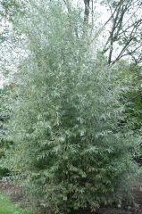 Salicaceae Salix alba 'SERICEA'