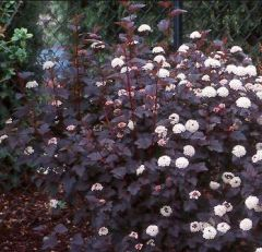 Rosaceae Physocarpus opulifolius 'DIABOLO'