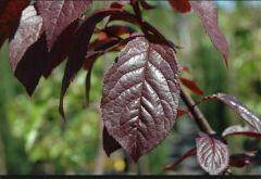 Rosaceae Prunus cerasifera 'NIGRA'