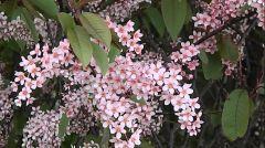 Rosaceae Prunus padus 'COLORATA'