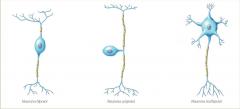*BIPOLARES: un axón y una dendrita *UNIPOLARES: axón único que se divide en 2 *MULTIPOLARES: presenta múltiples dendritas y un axón