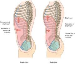 Inhalation- contraction of diaphram relaxation of abdominal muscles decrease intrathoracic pressure (increase vertical dimension)  Exhalation- relaxation of diaphram NO abdominal movement increases intrathoracic pressure (decrease vertical...