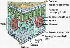 ~ The stomata allows for gas exchange, CO2 moves into the leave and O2 moves out. Water is also lost through the stomata.   ~ Stomata closed during the day to avoid excess water loss and open at night for gas exchange