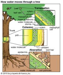 water gets into the roots by osmosis. then from the roots the water moves up the plant using  root pressure. Root pressure is a mechanism that pushed water up the plant. as the water enter the roots it creates a positive pressure for water that ...