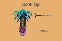 covers tip of root (protection)