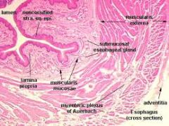 4 Layers.Epithelium: Stratified Squamous, esophageal cardiac glandsthat secrete a mucus-like substance to lubricate the bolus.																					 Muscularis Mucosa: thin patchy layer of smooth muscle Submucosa:  esophageal glands proper.    Ther...