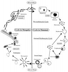 Phylum Apicomplexa, Class Coccidea  Malaria!  Diagnostic ring trophs Life cycle: Schizogony/ merogony: vert host Gamegony: vert host Fertilization/Zygote formation: Invert vector (so, invert vector technically=DH!) Sporogony: invert vector Vect...