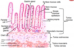 gastric pits that are 'deeping' into the lamina