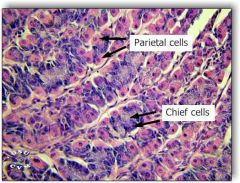 "gastric pits that are 'deeping' into the lamina propria and that open further into the gastric glands. Parietal cells are eosinophilic with a ""fried egg"" appearance , Chief cells are basophlilic with basal nuclei."