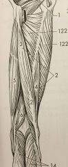 6: delvis täckt av m. semitendinosus U: tuber ichiadicum F: condylus medialis tibiae och lig. popliotea obliquum  (mm.ischiocrurales)