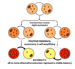 Type of cell-cell signaling; both cells initially have the same amount of X (stable state 1), until one expresses a little more, then there's positive feedback where the cell with more gets signals to produce more and the cell with less gets signals to pr