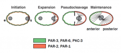 par family; par mutants only have symmetrical cell division. Different par proteins localize in different areas of the cell by reciprocal inhibition to define two different domains for asymmetric cell division