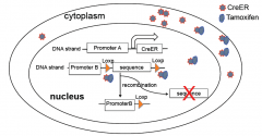 ER (estrogen receptor) is fused to Cre to keep the CreER fusion protein in the cytoplasm. Tamoxifen (estrogen homolog) binds to ER and brings CreER into the nucleus. Cre-mediated (Cyclization recombination) DNA recombination occurs at the Loxp site. Allow