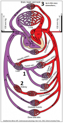 1. Splanchnic Circulation (digestive organs) - allows nutrients that have been absorbed in the GI tract to be directly delivered to the liver (Artery - Vein - Vein)      2. Kidneys - allows them to adjust the amounts of water and electrolyte...