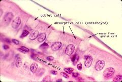 Enterocytes are absorptive cells found near goblet cells. Central nucleus.