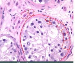 normal testes histology