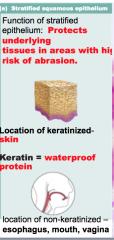 Keratinized stratified squamous epithelial