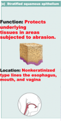 Stratified squamous epithelial