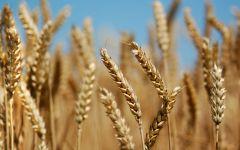 ¿Qué cultivos conforman la trilogía mediterránea de las regiones templadas?