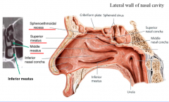 69: Nasal Cavity and Pharynx Flashcards - Cram.com Inferior Meatus Drainage