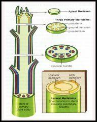 -apical meristems  -lateral meristems -Three primary meristems  -protoderm to epidermis  -ground meristem to parenchyma  Collenchyma  Sclerenchyma  Procambium to xylem, phloem
