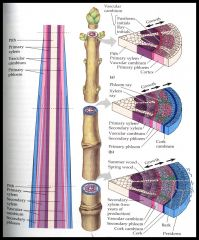 Vascular Cambium  -xylem inward  -phloem outward  Cork cambium  -cork Wood  -xylem  -annual rings  -heartwood vs sapwood  Bark  -phloem  -cork cambium  -cork  -lenticels   Girdling plants