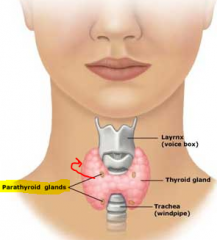 -4 small glands on posterior surface of thyroid -Secretes parathryroid hormone (PTH) -increases calcium levels.