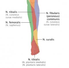 -Sensibilitätsausfälle → Fußsohle (→ siehe auch: Morton-Metatarsalgie) - Motorische Ausfälle → Ausfall der Flexoren des Fußes → Fußspitzengang nicht möglich