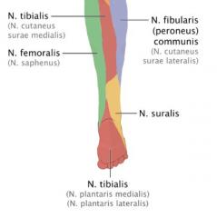 -Sensibilitätsausfälle → Lateraler Unterschenkel, lateraler Fußrand sowie kleiner Bereich der hinteren Fußsohle