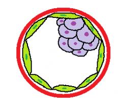 Blastocysten opstår ved compaction hvor den opdeles i en indre og en ydre cellemasse samt en sammenhængende cavitet (blastocelet). Den indre cellemasse giver ophav til embryon og betegnes embryoblasten, mens den ydre cellemasse danner trofoblast...