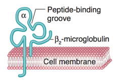 - Larger α chain that contains the peptide-binding groove