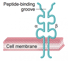 - Equivalent sided α and β chains