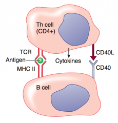 B cell activates and undergoes: