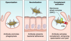 - Opsonization: antibody binding promotes phagocytosis