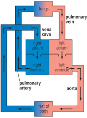left ventricle -> aorta -> body -> vena cava -> right atrium -> right ventricle -> pulmonary artery -> lungs -> pulmonary vein -> left atrium -> left ventricle -> repeat until kill