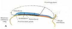 I symmetriplanet mellem   ectoderm og endoderm - Beliggende fra primitivgruben til den prochordale plade